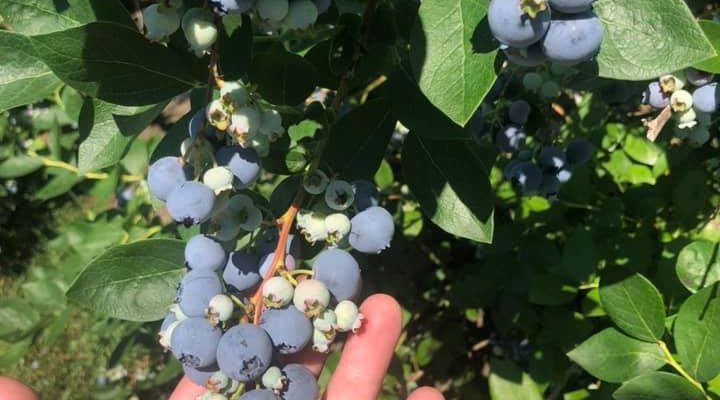 Pick your own Blueberries!