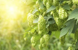 Hops ready for harvest