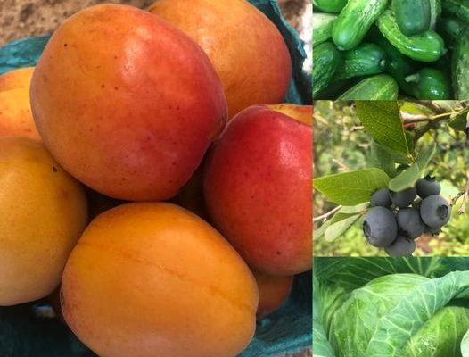Apricots and Cucumbers